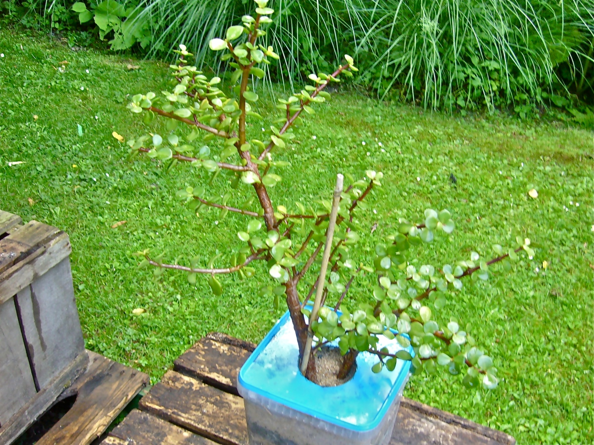 Combating desertification by planting the drought-tolerant spekboom (Portulacaria afra).