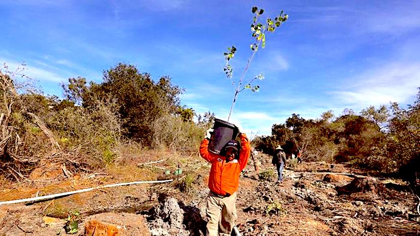 Reforestation with native trees, mostlywillows