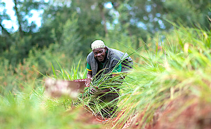 Livestock grass, a weapon against poverty and drought