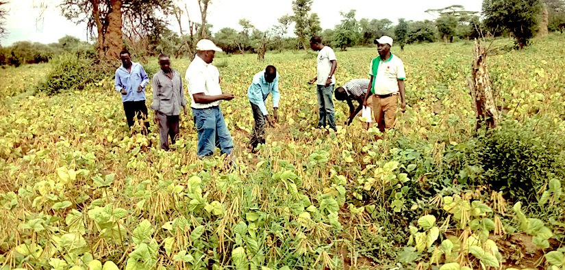 Cultivation of improved legumes andcereals