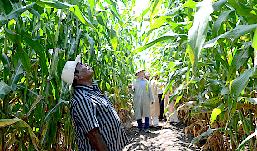 HIGH BIOMASS SORGHUM AND PEARLMILLET