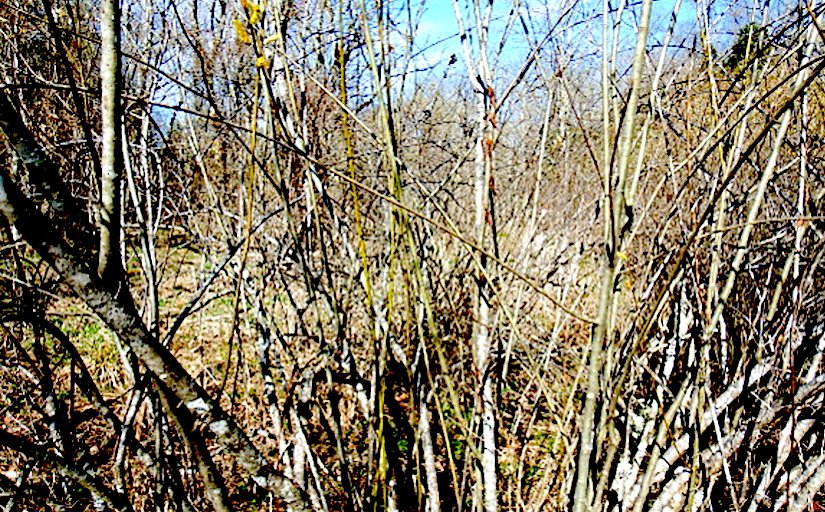 Reforestation with willowcuttings