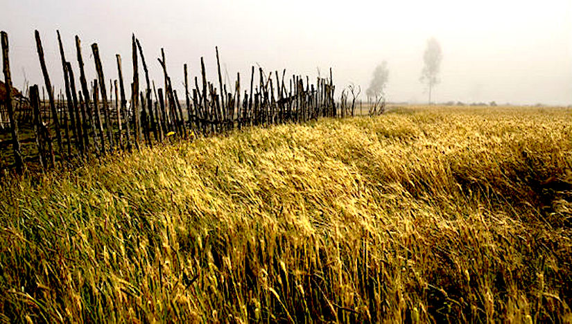 Africa can achieve self-sufficiency in wheatproduction