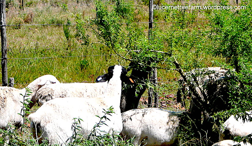 Tree lucerne (Cytisus proliferus) is a key supplementary feed for ruminant animals particularly in dryseasons