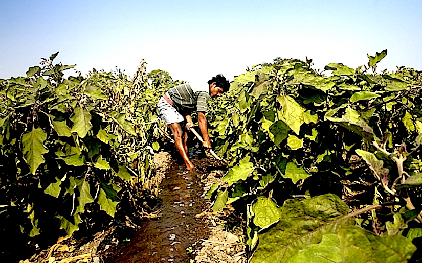 Crop irrigation with untreated wastewater
