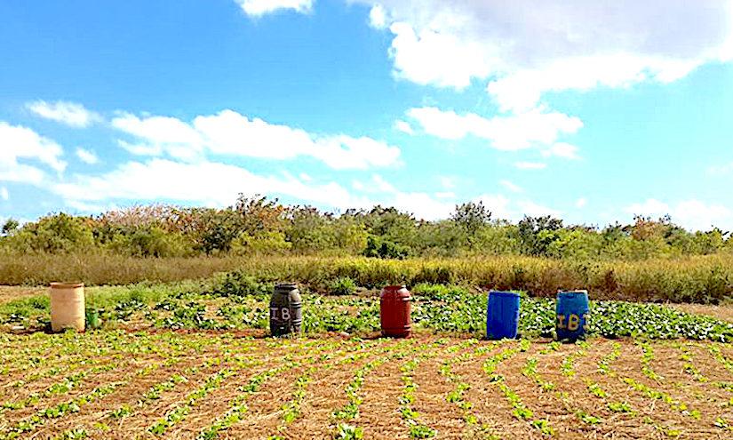Jamaican Farmer Field Schools anddrought
